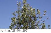 Купить «Цветущая груша», видеоролик № 28404297, снято 9 мая 2018 г. (c) Ольга Сейфутдинова / Фотобанк Лори