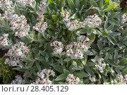Купить «Бессмертник своенравный (Helichrysum devium)», фото № 28405129, снято 22 февраля 2018 г. (c) Ирина Яровая / Фотобанк Лори