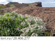 Купить «Бессмертник своенравный (Helichrysum devium)», фото № 28406277, снято 22 февраля 2018 г. (c) Ирина Яровая / Фотобанк Лори
