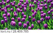 Купить «There are many lilac tulips in flowerbed», видеоролик № 28409785, снято 14 мая 2018 г. (c) Володина Ольга / Фотобанк Лори