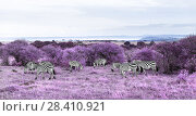 Купить «zebras grazing in purple african savannah», фото № 28410921, снято 18 февраля 2017 г. (c) Syda Productions / Фотобанк Лори