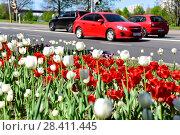 Купить «Тюльпаны на клумбе у дороги», эксклюзивное фото № 28411445, снято 9 мая 2018 г. (c) Юрий Морозов / Фотобанк Лори