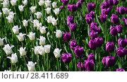 Купить «There are many lilac and white tulips in flowerbed», видеоролик № 28411689, снято 15 мая 2018 г. (c) Володина Ольга / Фотобанк Лори