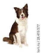 Купить «Beautiful Collie border dog isolated on white background», фото № 28419577, снято 26 апреля 2018 г. (c) Алексей Кузнецов / Фотобанк Лори