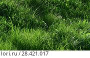 Купить «Young green grass in spring, fragment», видеоролик № 28421017, снято 15 мая 2018 г. (c) Володина Ольга / Фотобанк Лори