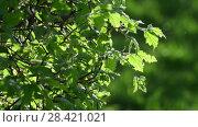 Купить «Young leaves of bush in a backlight», видеоролик № 28421021, снято 14 мая 2018 г. (c) Володина Ольга / Фотобанк Лори