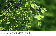 Young leaves of bush in a backlight. Стоковое видео, видеограф Володина Ольга / Фотобанк Лори