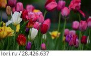 Купить «Tulips of different colors and gardens in flowerbed», видеоролик № 28426637, снято 15 мая 2018 г. (c) Володина Ольга / Фотобанк Лори