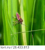 Купить «Макро съёмка. Красный клоп ползёт по траве», эксклюзивное фото № 28433813, снято 16 мая 2018 г. (c) Игорь Низов / Фотобанк Лори