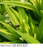 Купить «Маленький зелённый жук ползёт по траве», эксклюзивное фото № 28433821, снято 16 мая 2018 г. (c) Игорь Низов / Фотобанк Лори
