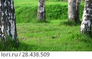 Купить «Fragment of Birch Grove with tree trunks and grass», видеоролик № 28438509, снято 15 мая 2018 г. (c) Володина Ольга / Фотобанк Лори