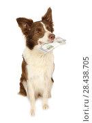 Купить «Collie border dog with the stack of bills fifty dollars  in her teeth», фото № 28438705, снято 26 апреля 2018 г. (c) Алексей Кузнецов / Фотобанк Лори