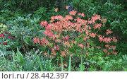 Купить «Yellow Azalea (Rhododendron luteum, Rhododendron flavum, Azalea pontica), hybridn», видеоролик № 28442397, снято 19 мая 2018 г. (c) Ольга Сейфутдинова / Фотобанк Лори