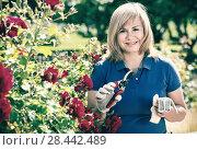 Купить «Woman gardening red roses and holding horticultural tools on sunny day», фото № 28442489, снято 17 июня 2016 г. (c) Яков Филимонов / Фотобанк Лори