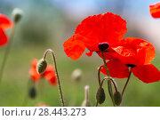 Купить «Bright red opium poppy flowers in summer», фото № 28443273, снято 6 мая 2018 г. (c) EugeneSergeev / Фотобанк Лори