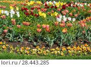 Купить «Красивая клумба с разноцветными тюльпанами», фото № 28443285, снято 12 мая 2018 г. (c) Елена Коромыслова / Фотобанк Лори