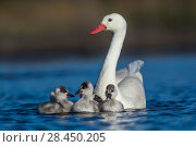 Купить «RF -  Coscoroba swan, (Coscoroba coscoroba) adult with chicks, La Pampa, Argentina», фото № 28450205, снято 20 сентября 2018 г. (c) Nature Picture Library / Фотобанк Лори