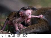 Купить «Toque macaque (Macaca sinica sinica) baby aged a few days. Polonnaruwa, Sri Lanka February.», фото № 28451337, снято 27 мая 2018 г. (c) Nature Picture Library / Фотобанк Лори