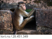 Купить «Toque macaque (Macaca sinica sinica) infant sitting in a drain. Polonnaruwa, Sri Lanka February.», фото № 28451349, снято 20 июля 2018 г. (c) Nature Picture Library / Фотобанк Лори