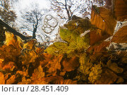 Купить «Underwater view of autumn leaves stuck behind a fallen tree, Leuvenumse beek, the Netherlands.», фото № 28451409, снято 22 мая 2018 г. (c) Nature Picture Library / Фотобанк Лори
