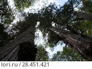 Купить «Looking up trunk of Alerce trees (Fitzroya cupressoides). Los Alerces National Park UNESCO World Heritage Site, Argentina.», фото № 28451421, снято 23 октября 2019 г. (c) Nature Picture Library / Фотобанк Лори