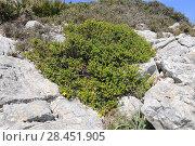 Estepa joana or hiperico de Baleares (Hypericum balearicum) is an evergreen shrub endemic to Balearic Islands. This photo was taken in Serra de Tramuntana... Стоковое фото, фотограф J M Barres / age Fotostock / Фотобанк Лори