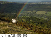 Купить «Welsh mountain pony in countryside with rainbow, Herefordshire, England, UK, September.», фото № 28453805, снято 23 мая 2018 г. (c) Nature Picture Library / Фотобанк Лори