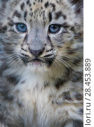 Купить «Snow leopard (Panthera uncia) cub age three months, captive.», фото № 28453889, снято 18 сентября 2018 г. (c) Nature Picture Library / Фотобанк Лори