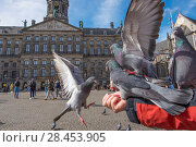 Купить «Person feeding Feral pigeons (Columba livia) outside the Royal Palace, Dam Square, Amsterdam. The Netherlands. March 2017.», фото № 28453905, снято 17 октября 2018 г. (c) Nature Picture Library / Фотобанк Лори