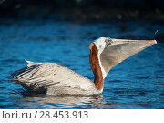 Купить «Brown pelican (Pelecanus occidentalis) feeding on fish, Turtle Cove, Santa Cruz Island, Galapagos», фото № 28453913, снято 16 августа 2018 г. (c) Nature Picture Library / Фотобанк Лори