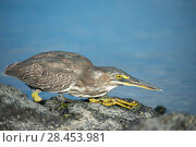 Купить «Striated heron (Butorides striata) hunting on coast, Punta Espinosa, Fernandina Island, Galapagos», фото № 28453981, снято 16 августа 2018 г. (c) Nature Picture Library / Фотобанк Лори