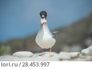 Купить «Swallow-tailed gull (Creagrus furcatus) feeding on squid, Genovesa Island, Galapagos», фото № 28453997, снято 16 августа 2018 г. (c) Nature Picture Library / Фотобанк Лори
