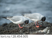 Купить «Swallow-tailed gull (Creagrus furcatus) pair in courtship display, Plazas Island, Galapagos», фото № 28454005, снято 16 августа 2018 г. (c) Nature Picture Library / Фотобанк Лори