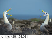 Купить «Waved albatross (Phoebastria irrorata) pair in courtship display at nest site, Punta Suarez, Espanola Island, Galapagos», фото № 28454021, снято 16 августа 2018 г. (c) Nature Picture Library / Фотобанк Лори