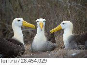 Купить «Waved albatross (Phoebastria irrorata) group of three on nest, Punta Suarez, Espanola Island, Galapagos», фото № 28454029, снято 16 августа 2018 г. (c) Nature Picture Library / Фотобанк Лори