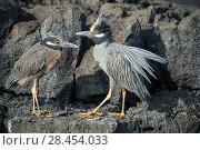 Купить «Yellow-crowned night herons (Nyctanasa violacea) adult and juvenile, Puerto Egas, Santiago Island, Galapagos», фото № 28454033, снято 14 июля 2020 г. (c) Nature Picture Library / Фотобанк Лори