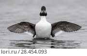 Купить «Goldeneye (Bucephala clangula), male spreading wings, Finland, April.», фото № 28454093, снято 20 августа 2018 г. (c) Nature Picture Library / Фотобанк Лори