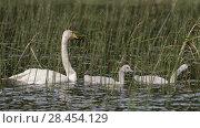 Купить «Whooper swan (Cygnus cygnus) adult and cygnets amongst  reeds, Finland, June.», фото № 28454129, снято 20 сентября 2018 г. (c) Nature Picture Library / Фотобанк Лори