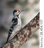 Купить «Lesser spotted woodpecker (Dendrocopos minor), male, Finland, March.», фото № 28454137, снято 19 августа 2018 г. (c) Nature Picture Library / Фотобанк Лори