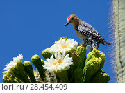 Купить «Gila woodpecker (Melanerpes uropygialis) male feeding on nectar in Saguaro cactus blossom (Carnegiea gigantea), Lost Dutchman State Park, Arizona, USA, April 2013.», фото № 28454409, снято 19 августа 2018 г. (c) Nature Picture Library / Фотобанк Лори