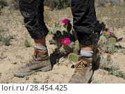 Купить «Legs and walking boots next to Desert Prickly Pear Cactus (Opuntia sp) with pink flower , Grand Staircase-Escalante National Monument, Utah, USA, May.», фото № 28454425, снято 16 августа 2018 г. (c) Nature Picture Library / Фотобанк Лори