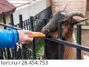Купить «Козел в мини зоопарке ест морковку из рук человека», фото № 28454753, снято 6 мая 2018 г. (c) Наталья Николаева / Фотобанк Лори