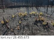 Купить «Holm oak (Quercus ilex) saplings growing after fire, Etang de Berre, Provence, France.», фото № 28455673, снято 16 июля 2018 г. (c) Nature Picture Library / Фотобанк Лори