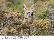 Grey Fox (Pseudalopex griseus)  Pampas region, Argentina. Стоковое фото, фотограф Gabriel Rojo / Nature Picture Library / Фотобанк Лори