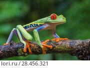 Купить «Red eyed tree frog (Agalychnis callidryas) La Selva Field Station, Costa Rica.», фото № 28456321, снято 21 августа 2018 г. (c) Nature Picture Library / Фотобанк Лори
