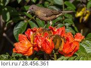 Купить «Clay-colored robin (Turdus grayi), drinking from flower of African tulip tree (Spathodea campanulata) Costa Rica. This tree is an invasive species.», фото № 28456361, снято 24 мая 2018 г. (c) Nature Picture Library / Фотобанк Лори