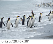 King Penguin (Aptenodytes patagonicus) on the island of South Georgia, the rookery on Salisbury Plain in the Bay of Isles. Adults coming ashore. Antarctica, Subantarctica, South Georgia. Стоковое фото, фотограф Martin Zwick / age Fotostock / Фотобанк Лори