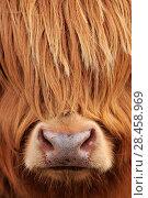 Купить «Highland Cow (Bos taurus) close-up, Isle of Mull, Inner Hebrides, Scotland, April.», фото № 28458969, снято 17 июля 2018 г. (c) Nature Picture Library / Фотобанк Лори