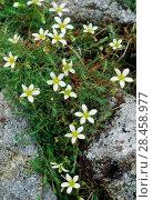Купить «Mossy Saxifrage (Saxifraga hypnoides) Rum National Nature Reserve, Inner Hebrides, Scotland, June.», фото № 28458977, снято 14 августа 2018 г. (c) Nature Picture Library / Фотобанк Лори
