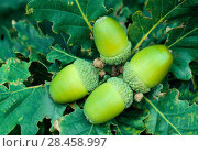 Купить «Sessile / Durmast oak (Quercus petraea) acorns in late summer, Ford Moss local nature reserve, Northumberland, August.», фото № 28458997, снято 19 августа 2018 г. (c) Nature Picture Library / Фотобанк Лори
